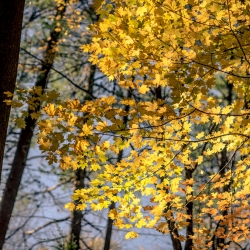 Maple Leaves by Andrew Gibson